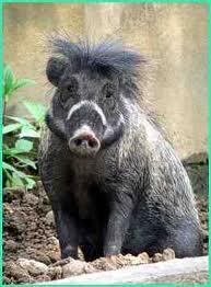 Babi Kutil, Hewan Langka yang Terlupakan
