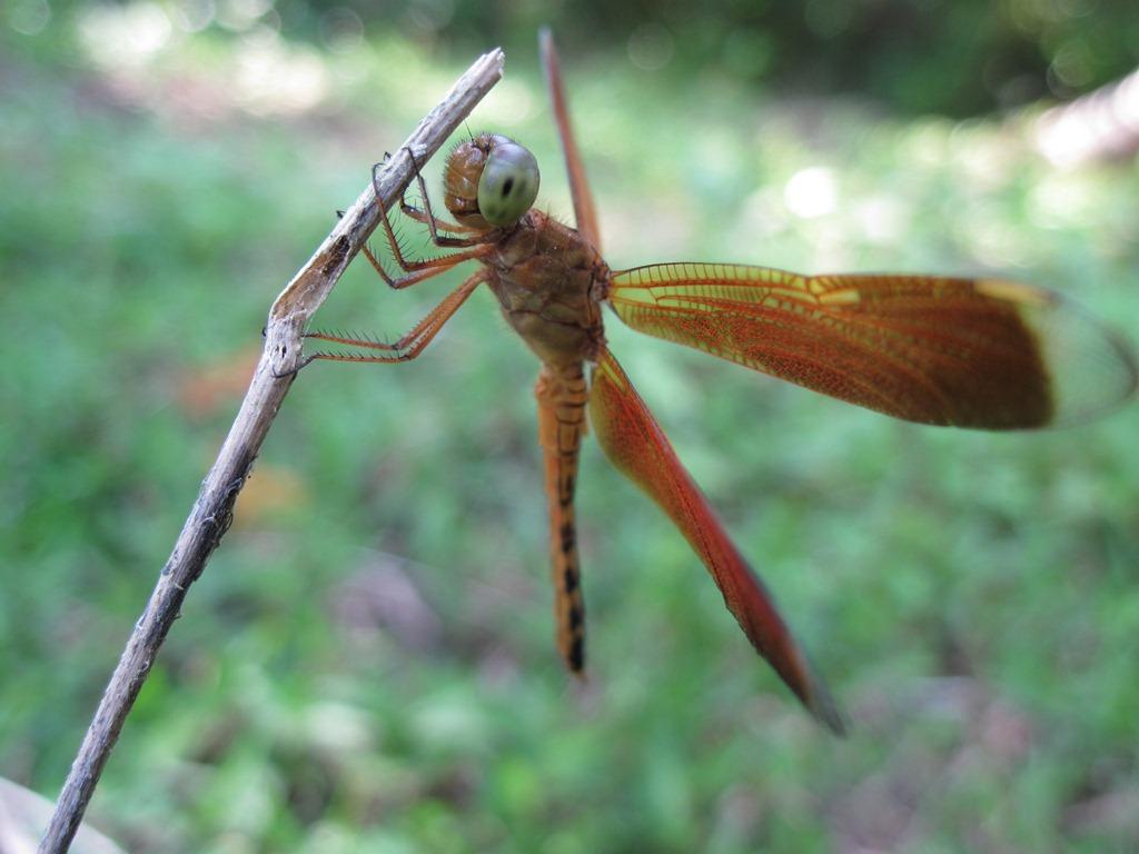 Dragonfly  (Odonata : Anisoptera)