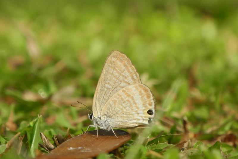 Kupu-kupu, Ngengat dan Skiper
