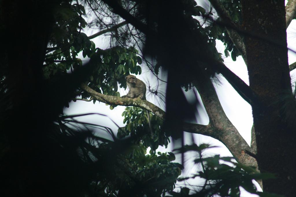 Keberadaan Monyet Ekor Panjang (Macaca fascicularis) di kampus IPB