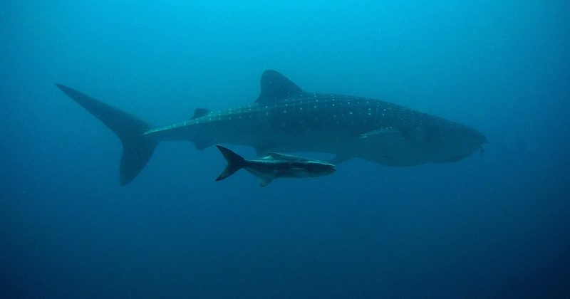Do You Know? WHALE SHARK